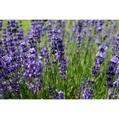 Lavender ❤ liked on Polyvore featuring floral