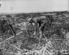 WWI, July 1917;  A Canadian officer picking flowers among barbed wire. MIKAN 3396753