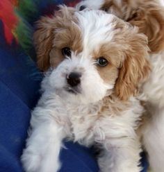 Cavapoo = mix of Cavalier King Charles Spaniel and Poodle