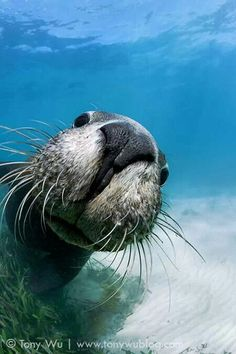 An poster sized print, approx (other products available) - Playful juvenile Australian sea lion (Neophoca cinerea) greeting me in shallow water at Carnac Island in Western Australia. - Image supplied by Nature Picture Library - Poster printed in the USA Shallow Water, Western Photo, Underwater Photography, Animal Photography, Western Australia, Marine Life, Sea Creatures, Nature Pictures, Under The Sea