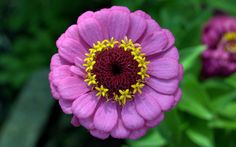 this zinnia flower looks practically like a cloned mailled flower!  such perfect shape and form!