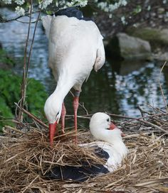 Picture of a stork bird building a nest. Ann Reaves-My Grandma Wulf said storks would build a nest in the thatched roof of her home in Germany when she was a child in the and Large Animals, Animals And Pets, Baby Animals, Cute Animals, Beautiful Birds, Animals Beautiful, Stork Bird, Shorebirds, All Birds