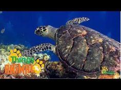 Sea Turtles video for kids.