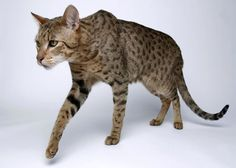 Ashera Cat - exotic domestic cat, part African Serval Cat, Part Asian Leopard, Part American House Cat - Totally Cool! Rare Cats, Exotic Cats, Cats And Kittens, Purebred Cats, Herding Cats, Gato Serval, African Serval Cat, Ashera Cat, Savanna Cat