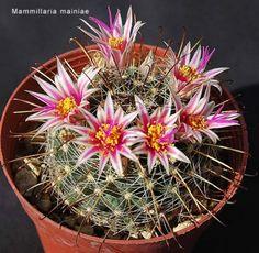 mammillaria mainiae Cactus Planta, Cactus Y Suculentas, Cactus Cactus, Cacti And Succulents, Planting Succulents, Kinds Of Colors, Bonsai, Beautiful Flowers, Green