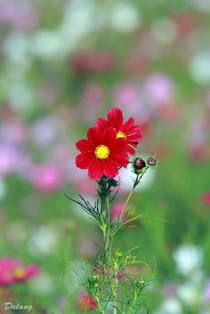 Cosmos Flowers - I saved cosmos seeds this past summer, looking forward to growing them this year!