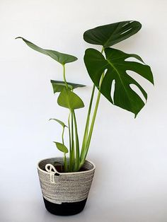 Delicious Monster in Mia Melange Planter White Pot, Black And White, Drip Tray, Houseplants, Indoor Plants, Plant Leaves, Planters, Gardening, Boutique