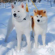 Japan akita Mey & Shin Japanese Akita, Japanese Dogs, Shiba Inu, Cute Puppies, Cute Dogs, Japanese Dog Breeds, Japon Tokyo, American Akita, Hachiko