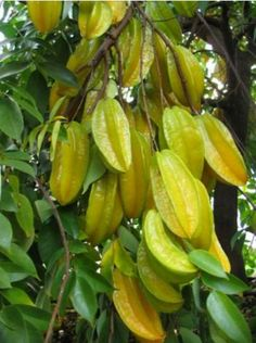 A cluster of Star fruits on tree