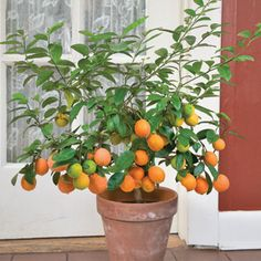 Citrus fruit tree growing in a pot