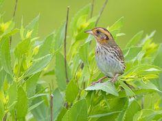 Kingdom Animalia, Saltmarsh Sparrow (by nebirdsplus)