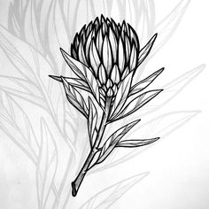 botanical drawing protea line flowers sketchbook - Modern Line Art Flowers, Flower Line Drawings, Line Flower, Abstract Flowers, Flower Art, Art Drawings, Flor Protea, Protea Art, Protea Flower