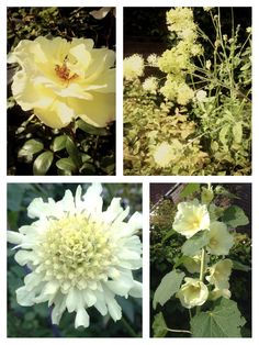 Pale Yellow flowers in my garden: Rose, Cephalaria Gigantea, Alcea Rosea and Thalictrum.