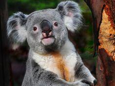 Coalas tem impressão digital parecida com a dos humanos . Esta característica apareceu com o desenvolvimento deles ; já que os cangurus , seus parentes bem próximos não as tem . Acredita-se que os sulcos da impressões digitais facilita a apreensão aos galhos .