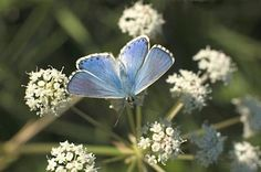 Adonis blue butterfly © Thinkstock    http://www.countryfile.com/countryside/10-must-see-british-butterflies