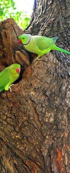- Rose-ringed Parakeets Rose-ringed Parakeets or Indian ring-necked parakeets.Rose-ringed Parakeets or Indian ring-necked parakeets. Kinds Of Birds, All Birds, Cute Birds, Pretty Birds, Little Birds, Beautiful Birds, Animals Beautiful, Exotic Birds, Colorful Birds
