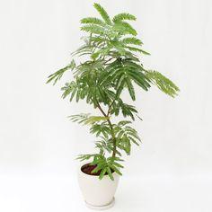 観葉植物「エバーフレッシュ」8号