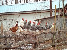 Chickens On The Fence  Animal Bird Country Rustic by myphotograph