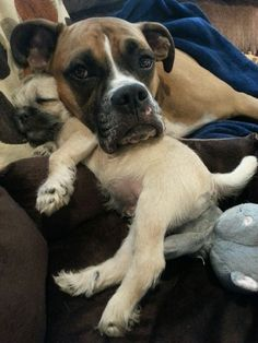 boxer and mini schnauzer/ pug mix puppy