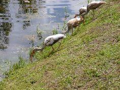 Group of juvenile ibis feeding along a canal