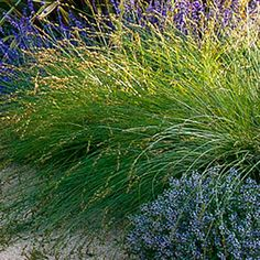 Carex divulsa    (Sold as Carex tumulicola)    This ornamental grass is a lovely choice to grow for foliage effect.