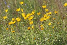 Helianthus Maximiliana Google Search Find This Pin And More On Colorado Native Plants