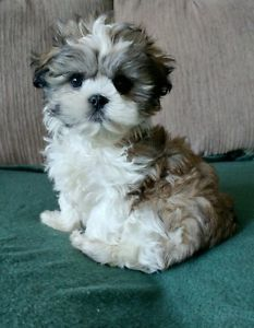 World S Cutest Maltese X Shihtzu Malshi Pups Rare Merle Colo