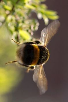 Nature Animals, Animals And Pets, Cute Animals, Beautiful Creatures, Animals Beautiful, Bee Photo, I Love Bees, Bees And Wasps, Bee Friendly