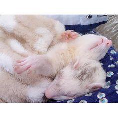 "429 Likes, 1 Comments - ferret bisco pino (@pyonjet915) on Instagram: ""* 秋刀魚より君たちを食べたい * * #animals #adorable #ferretgram #ferret #フェレット #instacute #ferretism #lovely…"""