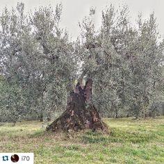 #Repost @i70  Olea europaea  Dolce Agogia  #trasimenolake #olio #oliodoliva #trasimeno #olive #olivo #enjoythecommunity