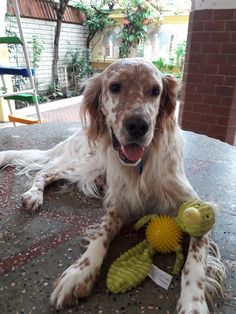 English Setter, New Toys, Animals And Pets, Puppy Love, Puppies, Orange, Dogs, Beautiful, Doggies