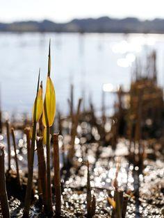 Lake Sanaru, Hamamatsu-city, Japan. 佐鳴湖 葦牙 A bud of reed
