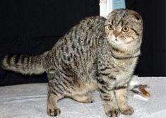 Scottish Fold, Cat Breed, Scottish Fold Cats, Scottish Shorthair