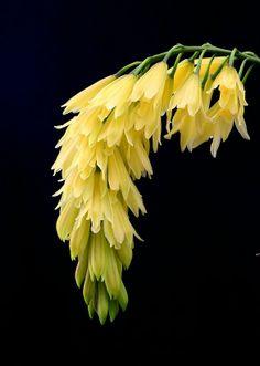 cymbidium flower spike                                                       …
