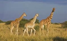 Giraffe history and some interesting facts