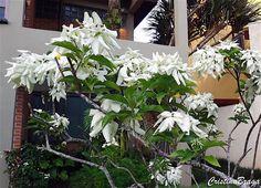 A mussaenda-branca e um arbusto, pertence à família Rubiaceae, nativa das Filipinas e Nova Guiné, perene, ereto, muito ramificado, de 1-5-2,5 m de altura ...