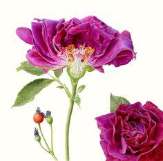 Botanical Illustrator   Rose Botanical Illustration
