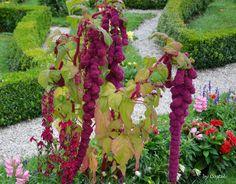 Amaranto: cultivo, propiedades y cómo aprovecharlas
