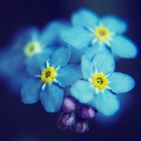 28 Charming Pictures of Forget-Me-Nots