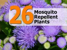 Gardening And More: 26 Mosquito Repellent Plants! Outdoor Plants, Garden Plants, Outdoor Gardens, Outdoor Spaces, Garden Insects, Potted Plants, House Plants, Plants That Repel Bugs, Mosquito Repelling Plants