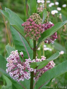Michigan Native: Common Milkweed (Asclepias syriaca).  Host plant for the monarch!