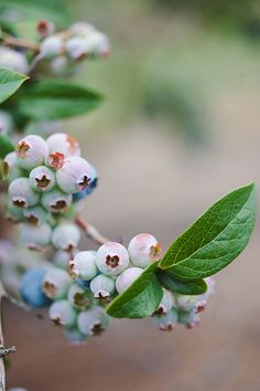 Beautiful unripe blueberries (photograph by Celine Kim)