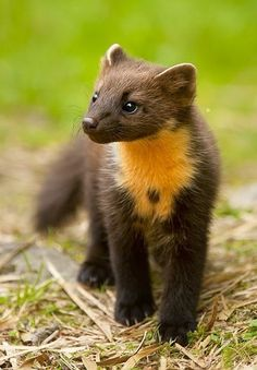 A pine marten ● Nature Animals, Animals And Pets, Baby Animals, Funny Animals, Cute Animals, Bird Pictures, Animal Pictures, Beautiful Creatures, Animals Beautiful