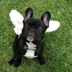 """I'm an Angel, 'cause my Daddy Says So."" French Bulldog with Wings, costume."