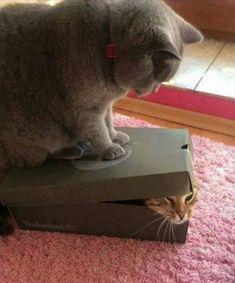 Gato prendendo o outro na caixa