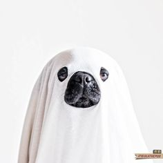 9 best ghost dogs images on pinterest ghost dog dog ghost costume ghost dog publicscrutiny Images
