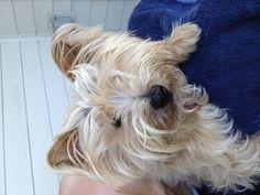 Little lion dog Bentley - Yorkie mix