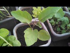 Transplante da berinjela e atualização dentro da estufa - YouTube