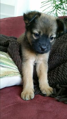 guess what breed! Chihuahua Mix Puppies, Tiny Puppies, Teacup Chihuahua, German Shepherd Chihuahua Mix, Cute Baby Animals, Funny Animals, Pet Life, Puppy Breeds, Outdoor Dog