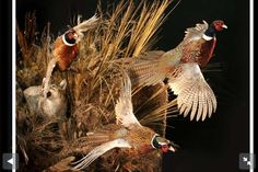 Coyote flushing pheasants - example for the display on top of the flat wall Pheasant Mounts, Deer Mounts, Pheasant Hunting, Taxidermy Display, Bird Taxidermy, Duck Mount, Animal Attack, Waterfowl Hunting, Turkey Hunting